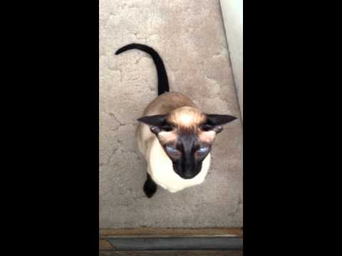 NERO - humorous SIAMESE CAT talking  CROWS