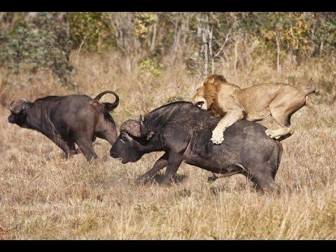 Thế giới động vật   Động vật săn mồi   Thuyết minh