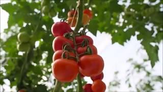 Produzione e lavorazione pomodoro per il Gazpacho Biosabor
