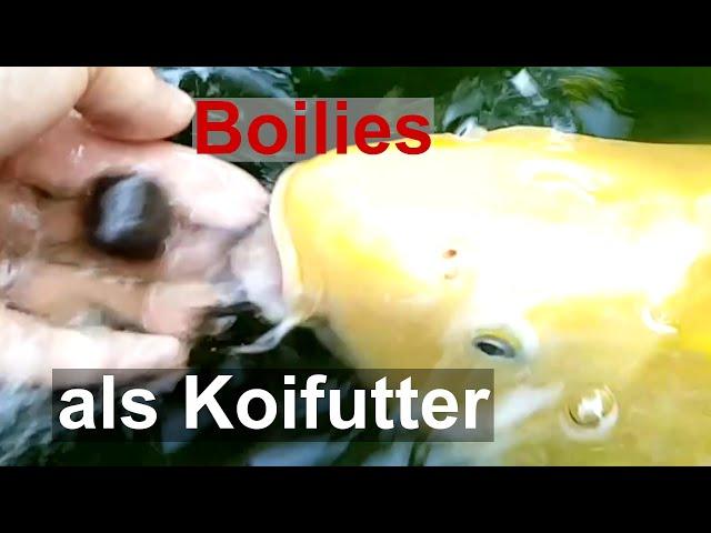 Jumbo Koi mit Boilies füttern