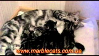 Британские котята окраса вискас (Donna_cats_2_weeks)