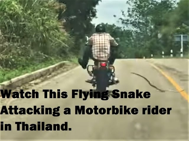 Watch This Flying Snake Attacking a Motorbike rider in Thailand.