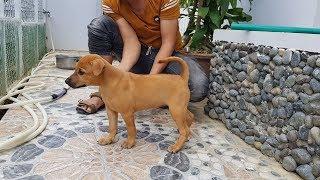 Chó Phú Quốc vàng