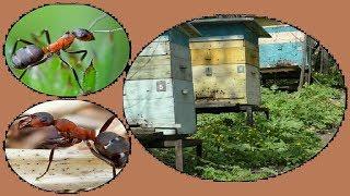 На пасеке рыжие лесные муравьи, что делать