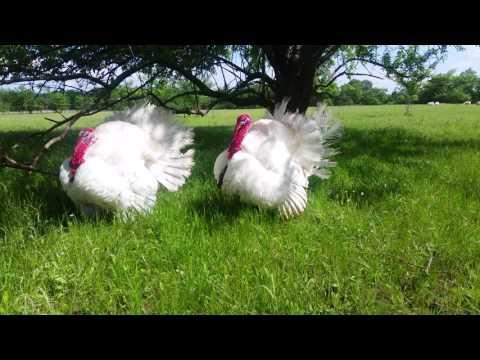 Midget White Turkeys On Spring Pasture