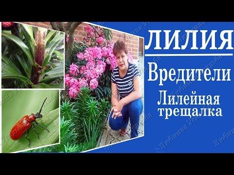 Вредители лилий. Кто объедает листья на лилиях