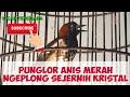 Punglor Anis Kembang Gacor Suara Kristal Mantap Buat Pancingan Dan Masteran Full isian(.mp3 .mp4) Mp3 - Mp4 Download