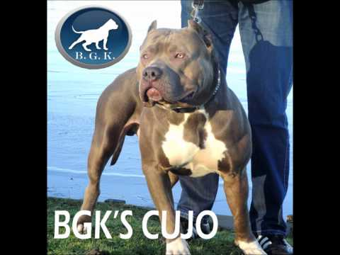 Bullly Pitbull, largest and best Xl Bully Pitbulls,  BGK's Avatar, Giant bully pit bull 145 lbs
