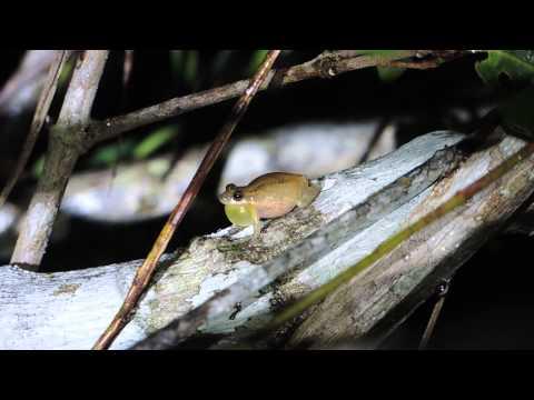 Frog Calling in Belize - Scinax staufferi