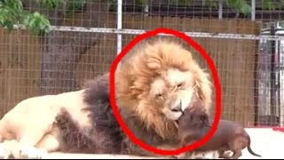 Cachorro entrou na jaula do leão