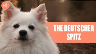 German Spitz: The Ultimate Guide To This Loyal And Loving Companion