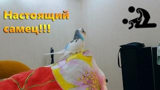 Приколы с попугаями - попугай чпокает подушку!