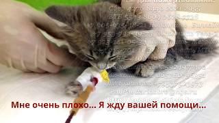 Больному котенку нужна помощь   Переливание донорской крови животным   Help save the kitten life