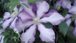 Цветы в мае.  Наш цветущий сад! Часть 1.(Что цветёт в саду в мае? Уже почти настоящее лето и после цветания крокусов, гиацинтов, тюльпанов началось..., 2016-05-27T12:05:17.000Z)