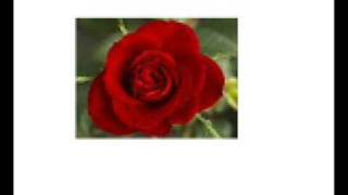 Red Red Rose, Robert Burns - Music by Noel Alexander