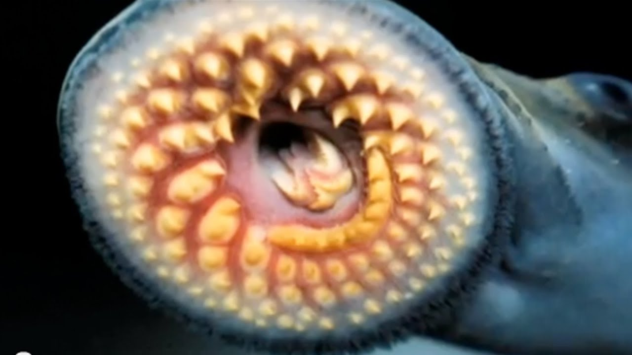 Image result for great lakes sea lamprey