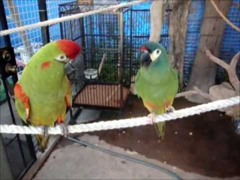 Illiger Macaw Red Fronted Macaw Do Small Talk Youtube