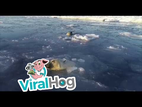 Polar Bears Hunt A Drone From Under The Ice || ViralHog