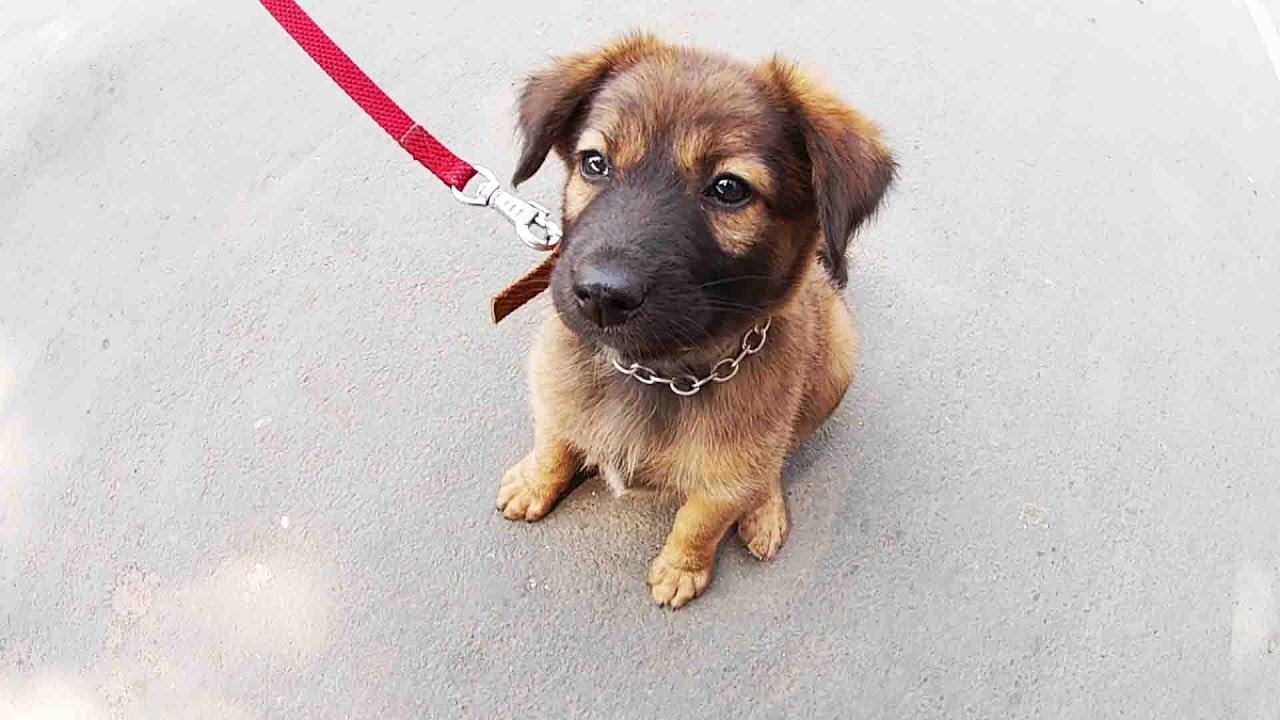 Cute Puppy Labrador And German Shepherd Mixed Breed
