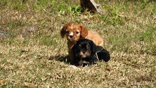 Cavalier King Charles Spaniel, Puppies, For, Sale, In, Charleston, South Carolina, Sc, Cayce, Beaufo