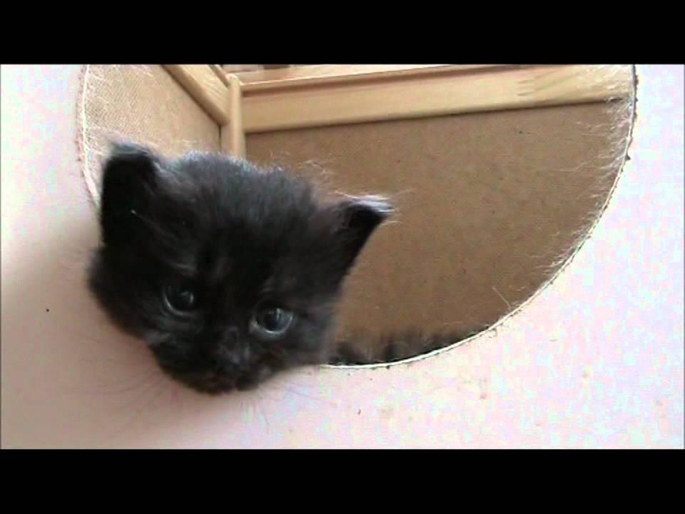 Entriamo nella cuccia di mamma gatta , Cucciolata di gatti siberiani figli  di Sila , YouTube