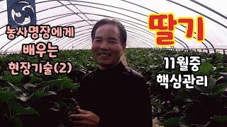 딸기 농사명장에게 배우는 현장기술(2) 정과방관리 11…