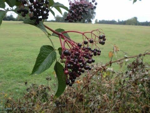 Wild Food : Elder (Sambucus nigra)