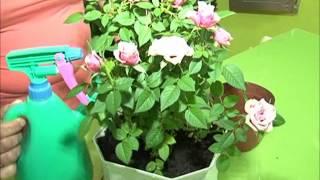 видео Почему сохнут комнатные миниатюрные розы. Сайт