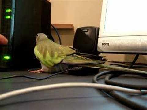 Princess Parrot buddy