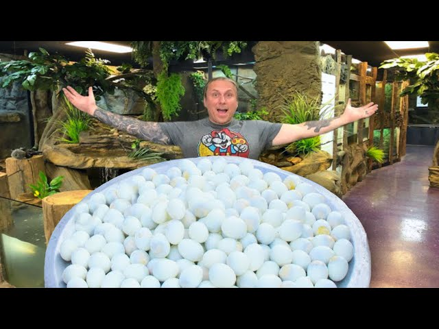 500 REPTILE EGGS LAID IN ONE DAY!! | BRIAN BARCZYK