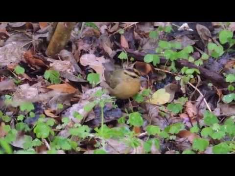 Worm-eating Warbler Searching for Food