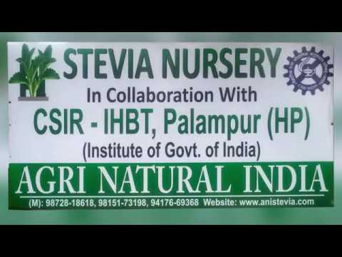 Stevia Nursery of Agri Natural India in Collaboration with CSIR-IHBT Palampur (HP) in Polyhouse