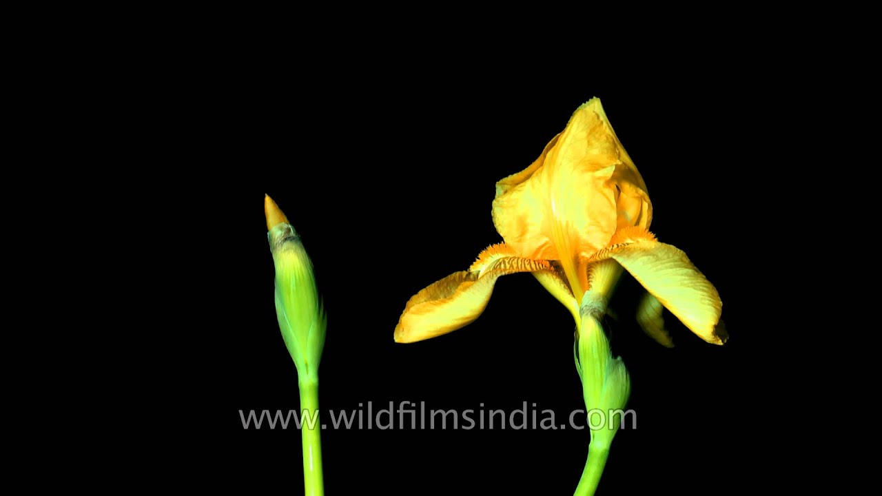 Watch this yellow iris flower open before your eyes youtube watch this yellow iris flower open before your eyes izmirmasajfo