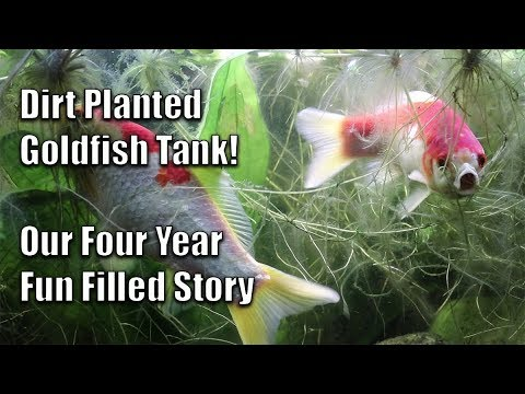 Dirt Planted Goldfish Tank – Our Four Year Story