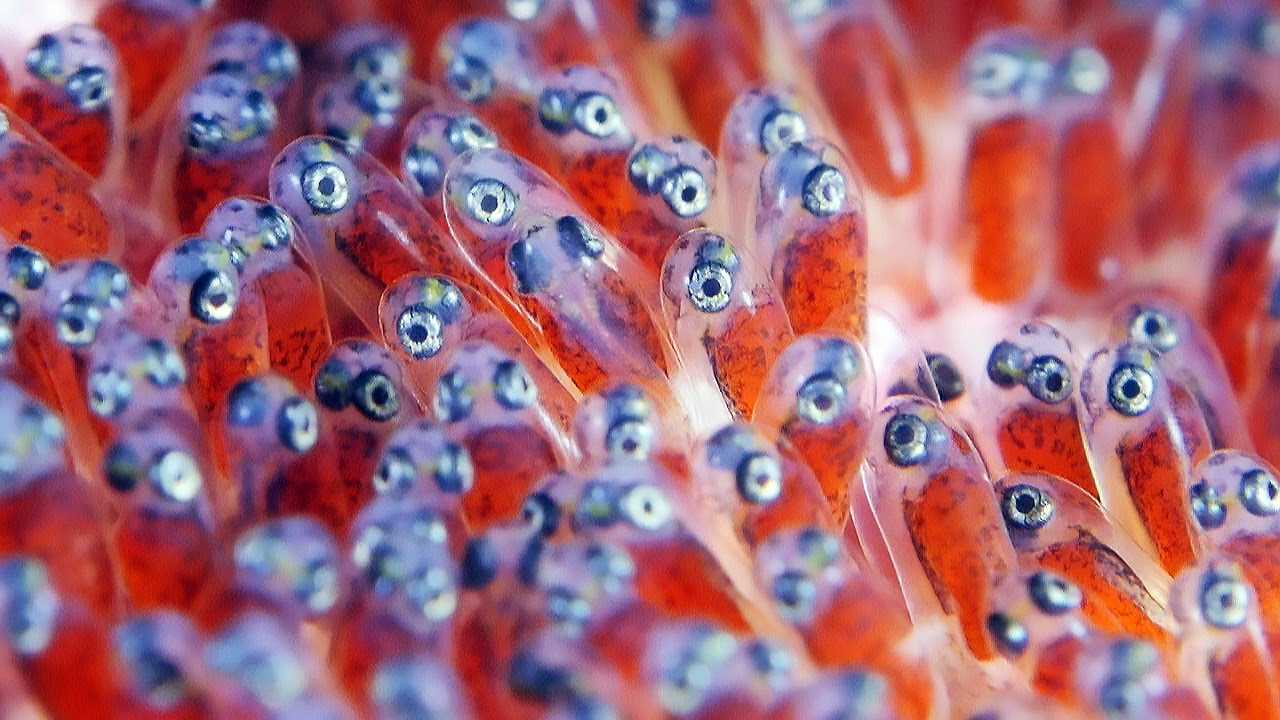 Clownfish Eggs - The Real Finding Nemo - YouTube