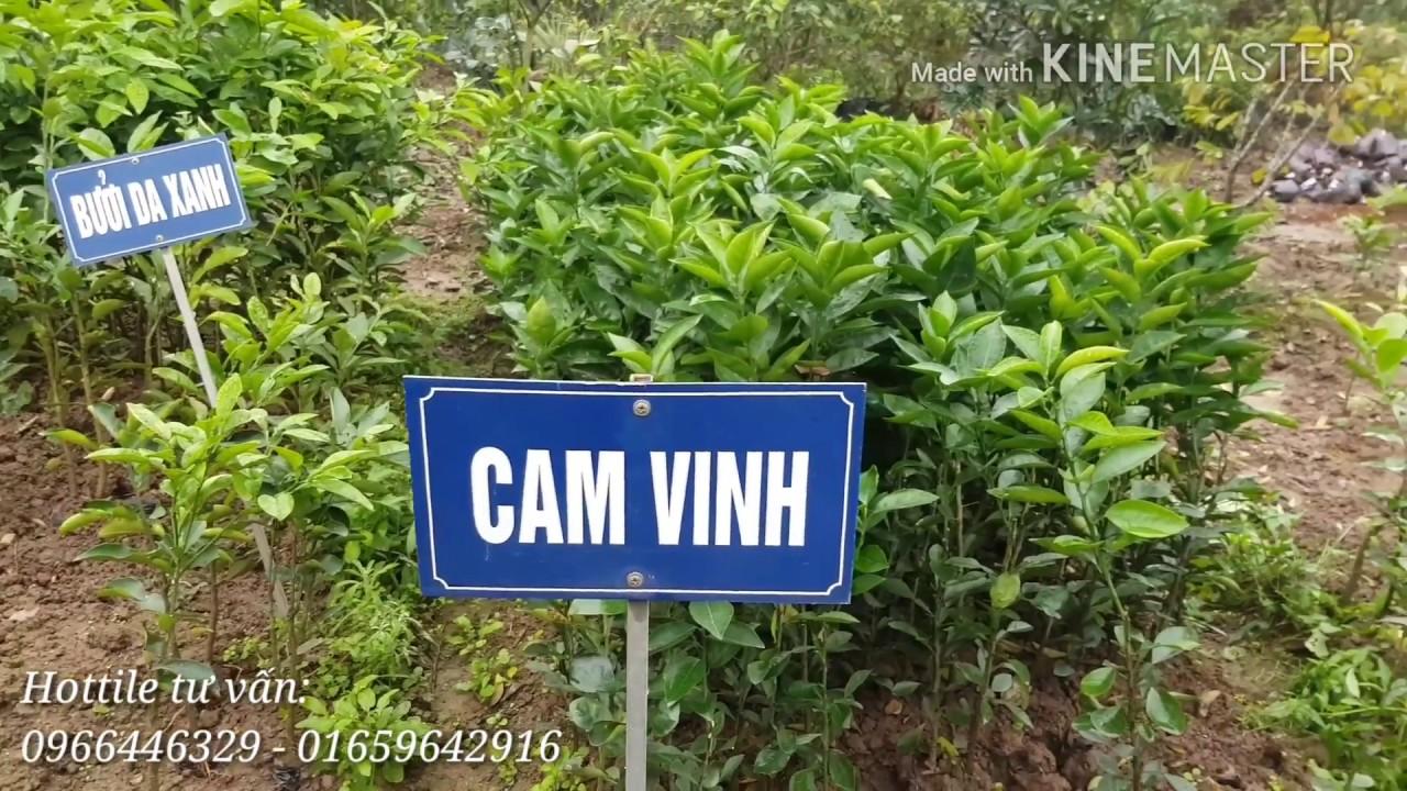 Vườn Hải Đăng hướng dẫn trồng cây ăn quả có múi