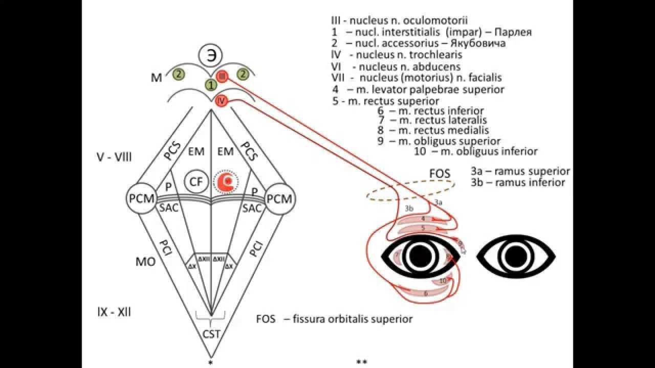 Схема черепно мозговых нервов фото 420