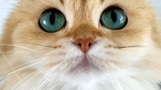 British Longhair Cats - Everything You Need To Know