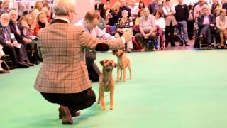 Best Of Breed Crufts 2013 Borderterrier