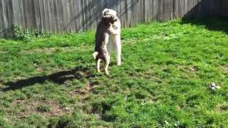 Labradoodle Versus Standard Poodle