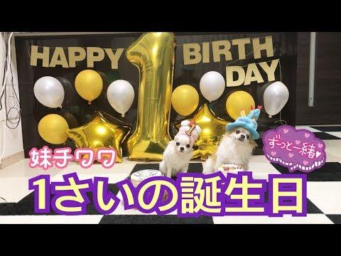 【チワワ誕生日】生後3ヶ月のお迎えから大きな病気や困難を乗り越え1歳までの全記録です。