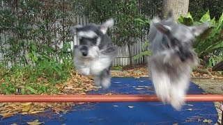 Mini Schnauzers' Synchronised Double Jump