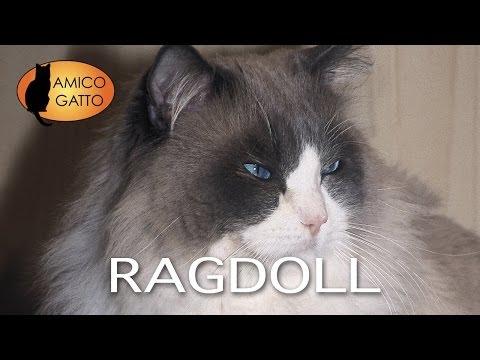 RAGDOLL trailer documentario (razza felina)