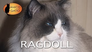 RAGDOLL trailer documentario (razza felina)