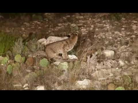Hunting - Outback Australia And North America For Hogs Cats Coyote