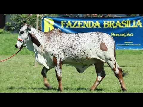 LOTE 5   RRP 8837 UCHOA FIV DE BRASILIA