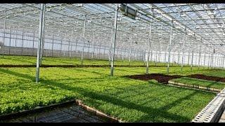Как голландцы выращивают на Львовщине салат