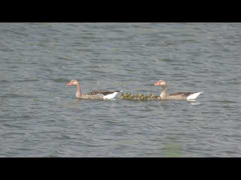 good Greylag baby goslings swim with mum n dad  RSPB Snettisham Norfolk UK 8may18 429p