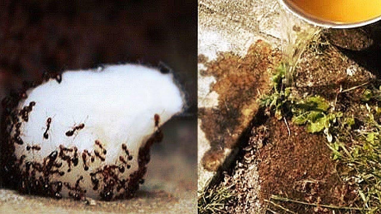 Karınca Neye Gelmez, Nasıl Gider Evdeki Karıncalardan Nasıl Kurtulunur 79