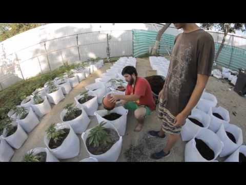 Primer cultivo de Cannabis Medicinal legal en Latinoamérica.